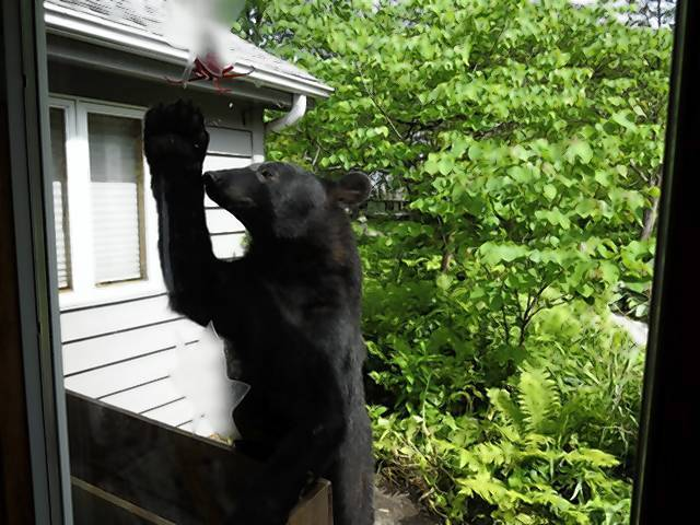 A black bear reaches for a hummingbird feeder Saturday morning outside the home of Rockford resident