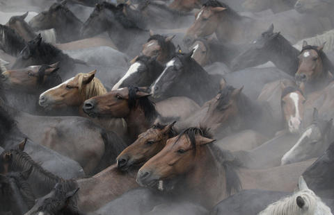 "Wild horses are seen gathered during the ""Rapa Das Bestas"" traditional event in the Spanish northwestern village of Sabucedo July 5, 2014. On the first weekend of the month of July, hundreds of wild horses are rounded up, trimmed and groomed in different villages in the Spanish northwestern region of Galicia."