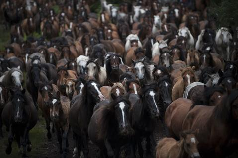 "Wild horses run through the hills of Sabucedo, some 40 kms from Santiago de Compostela, on July 5, 2014, as villagers try to round them up during the ""Rapa Das Bestas"" (Shearing of the Beasts) traditional event. During the 400-year-old horse festival, hundreds of wild horses are rounded up from the mountains, trimmed and groomed."