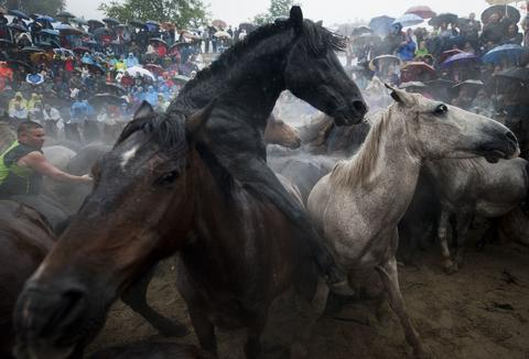 """Aloitadores"" (fighters) struggle with wild horses during the ""Rapa Das Bestas"" (Shearing of the Beasts) traditional event in the Spanish northwestern village of Sabucedo, some 40 kms from Santiago de Compostela, on July 5, 2014. During the 400-year-old horse festival, hundreds of wild horses are rounded up from the mountains, trimmed and groomed."
