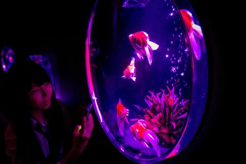 "A woman takes photographs of Kingyo (goldfish) on display at the ""Eco Edo Nihonbashi Art Aquarium 2014"" exhibition at the Nihonbashi Mitsui Hall on July 15, 2014 in Tokyo, Japan."