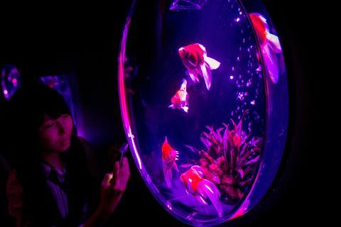 "A woman takes photographs of Kingyo (goldfish) on display at the ""Eco Edo Nihonbashi Art Aquarium 2014"" exhibition at the Nihonbashi Mitsui Hall on July 15, 2014 in Tokyo, Japan."