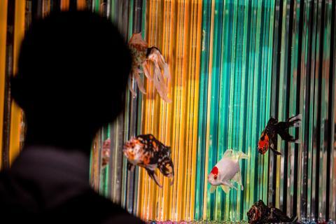 """A man views Kingyo (goldfish) on display at the """"Eco Edo Nihonbashi Art Aquarium 2014"""" exhibition at the Nihonbashi Mitsui Hall on July 15, 2014 in Tokyo, Japan."""
