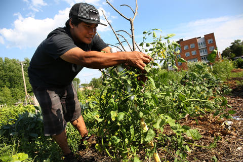 The refugee garden on Lawrence Avenue in Chicago is a forest of lovingly cared for vegetables and herbs.