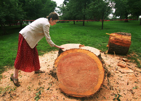 July 10, 2000: Cynthia Lamb, marketing communications manager at Naper Settlement, examines a 40-year-old black cherry tree that was struck by lightning. Workers cut down the tree to avoid further damage to nearby buildings by flying tree limbs in a future storm. Lamb said they will use the tree as a teaching tool, allowing students to count the tree's rings to figure its age.