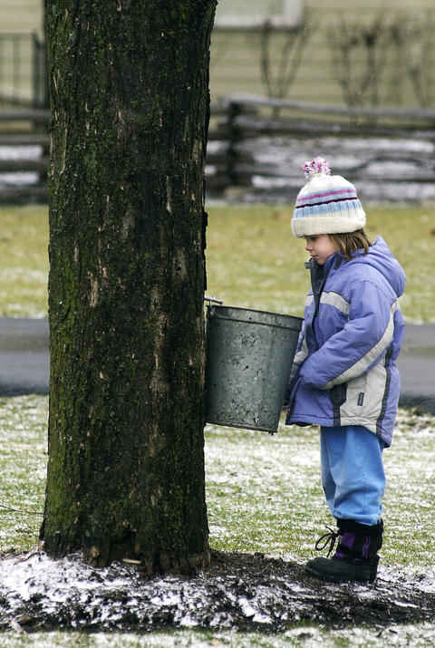 March 9, 2002: Abby Johnson, 5, waits for sap to drip into the bucket of a recently tapped maple tree as part of a demonstration during the annual Maple Sugaring Days at Naper Settlement.