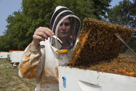 "An Oregon State University bee researcher collects ""nurse bees"" in a hive outside on August 5, 2014 in Corvallis, Oregon. AAfter taking a sample, the researchers analyze the bee blood to determine the effects of pesticides do their the bee's immune systems. The research could be useful in determining if why large number of bees have been dying recently."