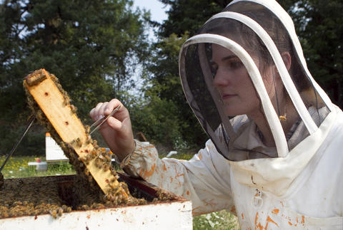 "Oregon State University bee researcher Ciera Wilson searches for ""nurse bees"" in a hive outside on August 5, 2014 in Corvallis, Oregon. AAfter taking a sample, the researchers analyze the bee blood to determine the effects of pesticides do their the bee's immune systems. The research could be useful in determining if why large number of bees have been dying recently."