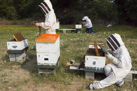 "Oregon State University bee researchers collect ""nurse bees"" in a hive outside on August 5, 2014 in Corvallis, Oregon. After taking a sample, the researchers analyze the bee blood to determine the effects of pesticides on the bees. The research could be useful in determining why large colonies of bees sometimes die off"