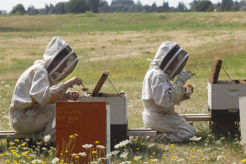 "Oregon State University bee researchers collect ""nurse bees"" from hives outside on August 5, 2014 in Corvallis, Oregon. After taking a sample, the researchers analyze the bee blood to determine the effects of pesticides do their the bee's immune systems. The research could be useful in determining if why large number of bees have been dying recently."