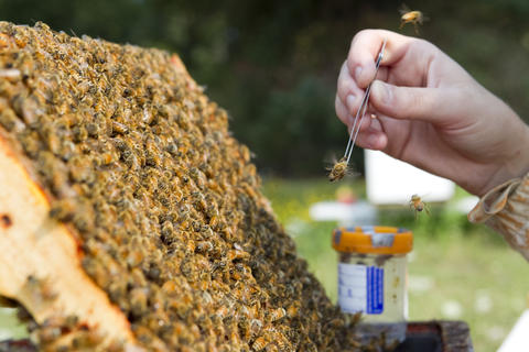 "An Oregon State University bee researcher collects ""nurse bees"" in a hive outside on August 5, 2014 in Corvallis, Oregon. After taking a sample, the researchers analyze the bee blood to determine the effects of pesticides do their the bee's immune systems. The research could be useful in determining if why large number of bees have been dying recently."