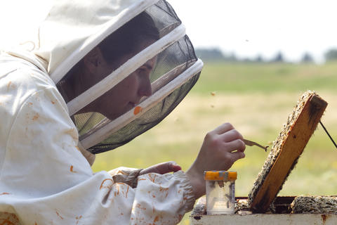 "Oregon State University bee researcher Ciera Wilson searches for ""nurse bees"" in a hive outside on August 5, 2014 in Corvallis, Oregon. After taking a sample, the researchers analyze the bee blood to determine the effects of pesticides do their the bee's immune systems. The research could be useful in determining if why large number of bees have been dying recently."