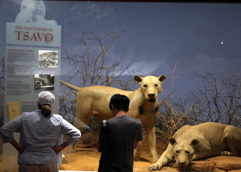 The Lions of Tsavo, a longtime attraction at the Field Museum.
