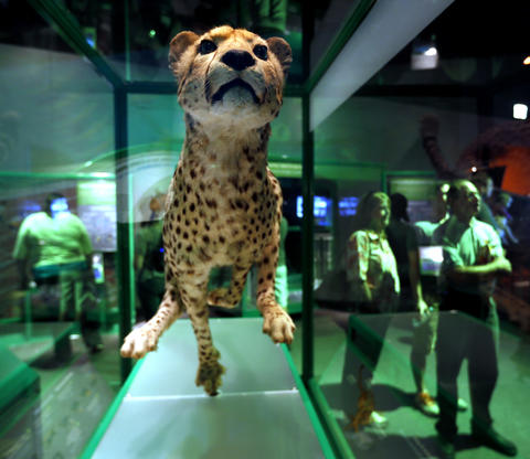 A suspended cheetah in the Machine Inside: BioMechanics exhibit at the Field Museum,