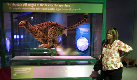 A suspended cheetah in the Machine Inside: BioMechanics exhibit at the Field Museum.