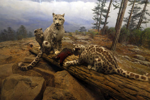 A snow leopard diorama at the Field Museum.