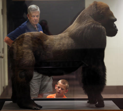 10-year-old Joey Rauwerta (below) and his grandfather, Peter Tigchelaar, examine Bushman, the famous lowland gorilla who was one of Lincoln Park Zoo's greatest attractions for over 20 years.