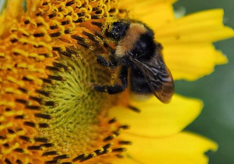 2014, August 12 - ANTENDORF, GERMANY - Unaware of its seminal role in sunflower reproduction, a bee dusted with pollen searches for nectar on a sunflower in central Germany.