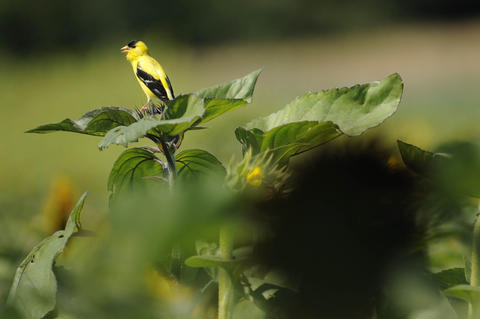 2013, August 05 - MIDDLEFIELD, Ct. A Goldfinch calls to it's mate while resting on a sunflower bud at last year's Sunflower Maze at Lyman Orchards.  The maze, cut in the shape of a roller coaster, meandered through three acres of about 350,000 red and yellow sunflowers. This year's Lyman Orchards maze is open August 2-24.  CLOE POISSON | cpoisson@courant.com