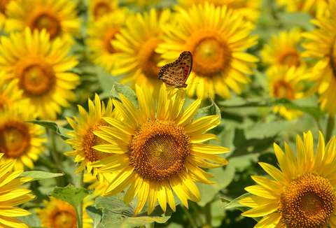 2014, August 7 - TOKYO, JAPAN - A butterfly sits on a sunflower in a field in Tokyo on August 7, 2014. Some 20,000 sunflowers were enjoyed by visitors to the area this week.