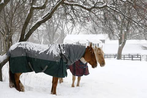 Horses stand beneath a tree along Ridge Road in Barrington Hills as light snow continues to fall. Over 50 inches of snow has fallen in Illinois this winter.