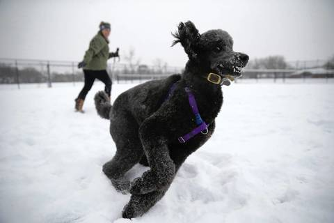 A passing storm created fresh snow for a morning romp this morning for Gina Piccioni and her 3-year-old standard poodle, Brio.