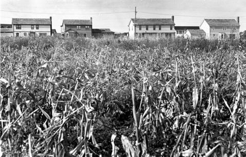 Oct. 10, 1983: Near the Tullamore subdivision, a corn field is located just north of Hawley Street near Mundelein High School in 1983.