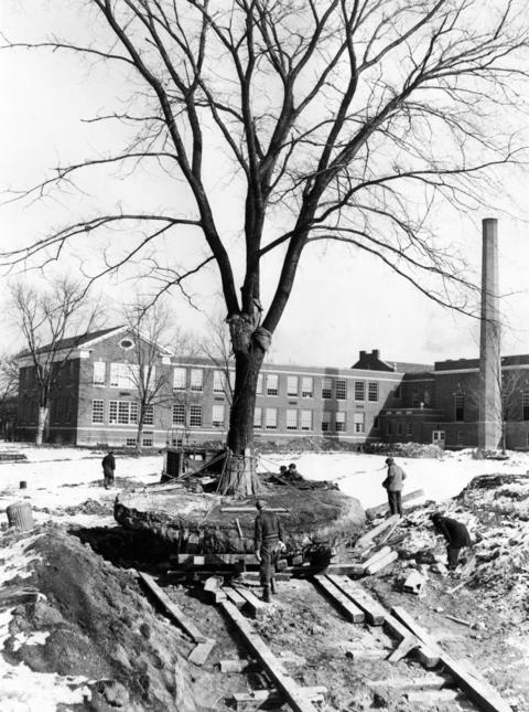 Feb. 22, 1940: Glencoe Park District workmen relocate a 60-foot elm tree from a school yard to its new home at Central School.