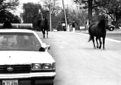 Nov. 9, 1990: Freedom is fleeting for Alladin and Cher as they tour Houser Court in New Lenox in sight of the police. After corralling the escapees in a back yard, police notified the owner of the horses, who took them back to their Locust Street barn.