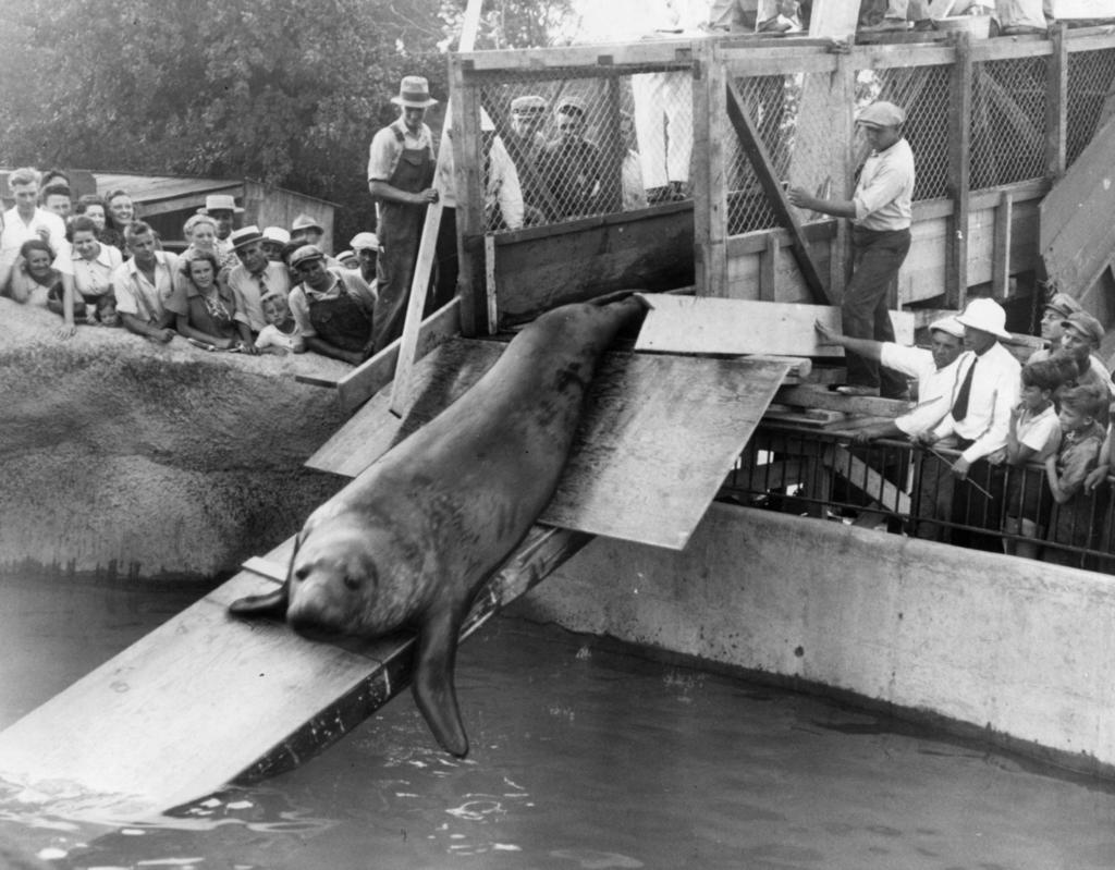 July 29, 1936: Accompanied by 20 sea lions brought to the Chicago Zoological garden at Brookfield, a huge elephant seal was urged into the new sea lion grotto by a group of keepers.