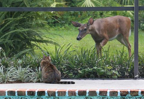 With only a pool screen between them a wild, white-tailed deer befriends a cat named 'Riley' Sunday, May 17, 2015 at Longwood, Florida. The curious doe emerged from a wooded area behind my home and caught a glimpse of our cat sitting. The deer appearing to be young always maintained eye contact with 'Riley' as she cautiously made her way closer and closer. The feline never showed any territory behavior toward the doe like hissing or a puffed out tail. I think they just wanted to be friends.