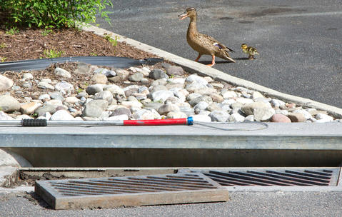 Three times in four weeks, Newport News Park Rangers were called to City Center to rescue ducklings that have fallen down though storm water grates. Senior Ranger Randy Creekmore and Chief Ranger Robert Farrell worked to free the young ducklings from the storm pipes. The Mother duck with only one of the ducklings is calling out to the others inside the underground storm pipes.