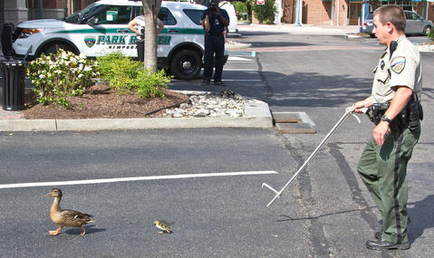 Three times in four weeks, Newport News Park Rangers were called to City Center to rescue ducklings that have fallen down though storm water grates. Senior Ranger Randy Creekmore and Chief Ranger Robert Farrell worked to free the young ducklings from the storm pipes. Senior Ranger Randy Creekmore keeps the ducks away from the open grates.