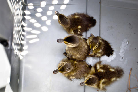Three times in four weeks, Newport News Park Rangers were called to City Center to rescue ducklings that have fallen down though storm water grates. Senior Ranger Randy Creekmore and Chief Ranger Robert Farrell worked to free the young ducklings from the storm pipes. Five of the ducklings recovered.