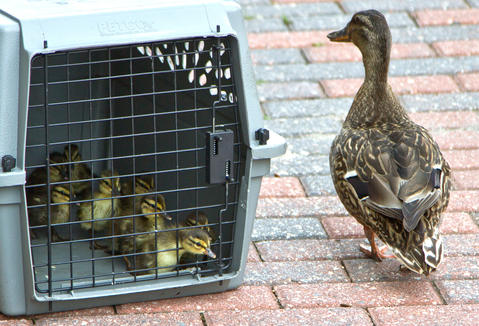 Three times in four weeks, Newport News Park Rangers were called to City Center to rescue ducklings that have fallen down though storm water grates. Senior Ranger Randy Creekmore and Chief Ranger Robert Farrell worked to free the young ducklings from the storm pipes. The Mother duck checks her crated ducklings.