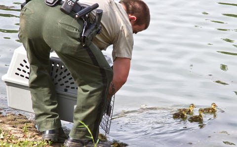 Three times in four weeks, Newport News Park Rangers were called to City Center to rescue ducklings that have fallen down though storm water grates. Senior Ranger Randy Creekmore and Chief Ranger Robert Farrell worked to free the young ducklings from the storm pipes. Senior Ranger Randy Creekmore opens the the crate and frees the ducklings into the lake.