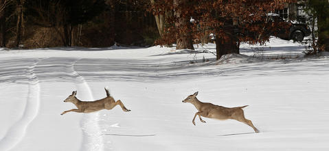 A couple of young deer race across an open field near the Yorktown Battlefield Tuesday. ORG XMIT: NEW102