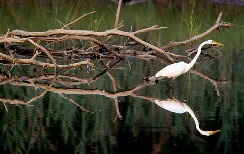 A white egret looks for a meal near the James River Marina on Deep Creek Friday evening.
