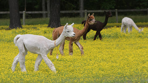 Three solid colored alpacas.