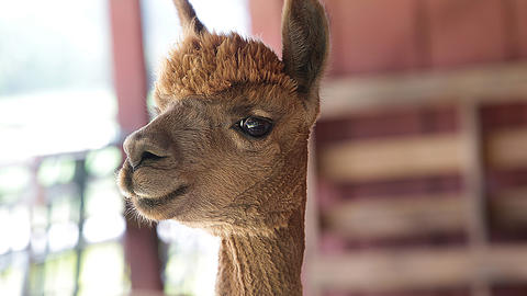 An alpaca is ready for her close up.