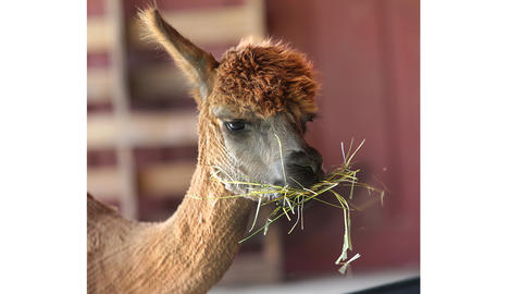 An alpaca has some hay for lunch.