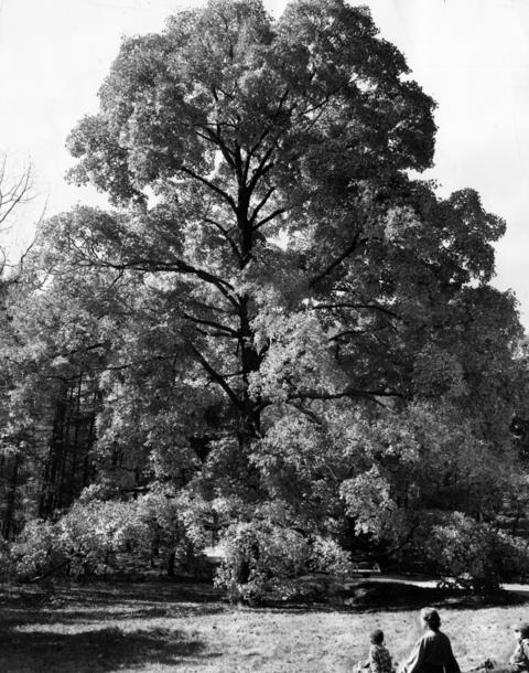 October 1952: A towering 250-year-old sugar maple at Morton Arboretum.