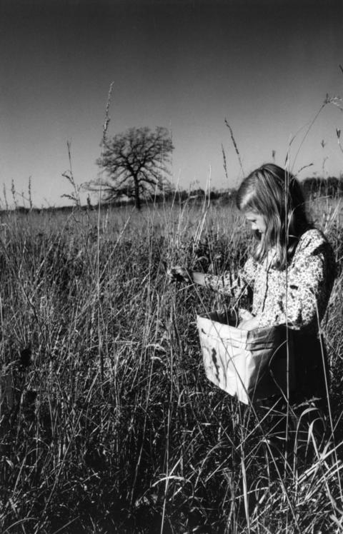 October 1977: A young harvester gathers seeds of Indian grass at Morton Arboretum. Fermi National Accelerator Laboratory sought volunteers 10 years of age and older to help harvest seeds of prairie grasses and flowers to aid the lab's Prairie Restoration Project.