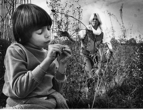 October 1981: Dana Delulio, 6, of Elmhurst Brownie Troop 210, picks yellow cone flower seeds as troop leader Pam Lessner collects seeds in a bucket during a prairie seed harvest at Morton Arboretum. With the seeds, researchers at Fermilab hope to recreate a prairie similar to those that once covered the state and later reintroduce native animals.
