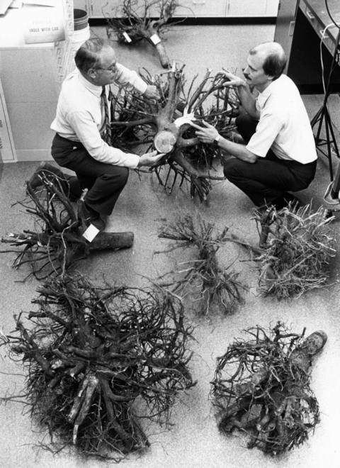 July 1986: Scientists George Ware, left, and Gary Watson do a post-mortem on the root system of a tree that died at Morton Arboretum.