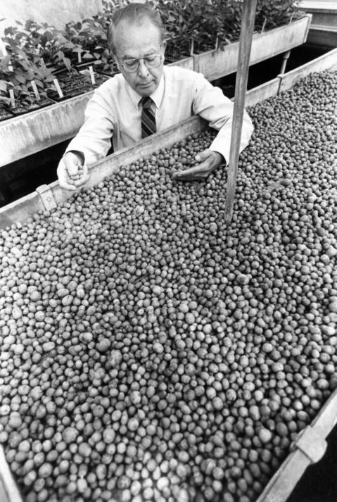 May 1986: There's no shortage of burr oak trees at Morton Arboretum. Mature trees on the grounds produced a bumper crop of acorns in the fall of 1985, leading to a large collection for storage. Dr. George Ware checks the seed stock in an arboretum greenhouse.