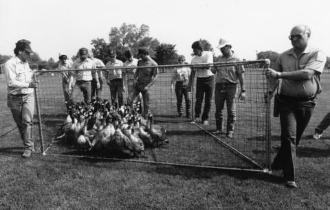 July 1989: Geese shuffle along as workers relocate a movable cage. The geese were rounded up by the Illinois Department of Conservation.