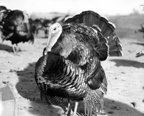 Turkeys reside on the Law family farm in Mount Carroll, Ill., in November 1940.