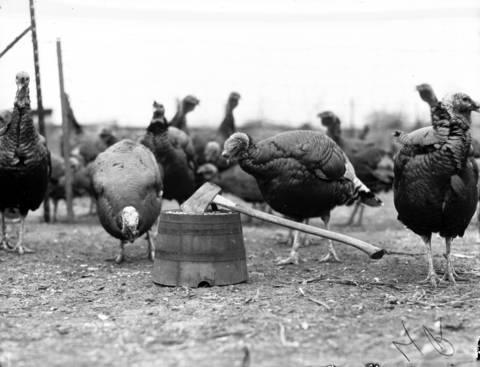 A turkey farm on Rand Road near Arlington Heights, Ill., in 1940.