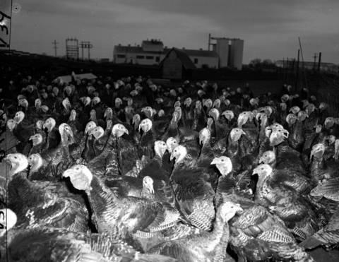 A turkey farm in Libertyville, Ill., in November 1951.